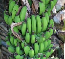 green bananas.jpg